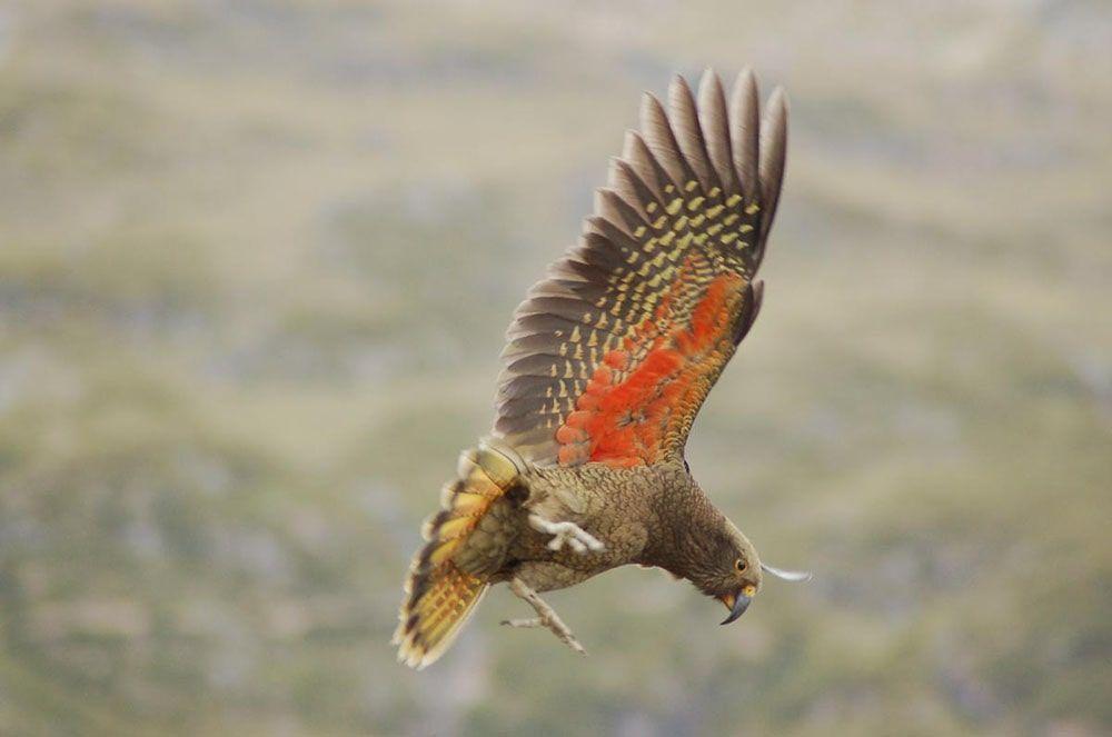 عکاسی از پرنده Kea ای که در حال پرواز است